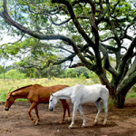 Horses In Maui Puzzle