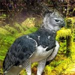 Rescue The Harpy Eagle