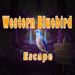 Western Bluebird Escape